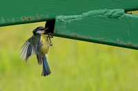 Blue Tit food delivery © Peter Gilbert - HC