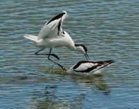 Avocet Attack II  © Peter Gilbert