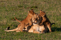 Lioness with Playful Cubs © Mary Kirkby - 2nd=