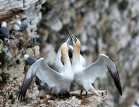 Northern Gannets  © Peter Gilbert