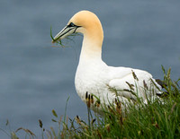 Northern Gannet © Peter Gilbert