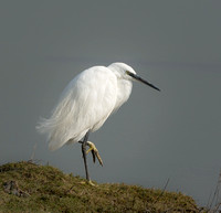 Little Egret  © Peter Gilbert