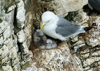 Kittiwake & Chicks © Peter Gilbert