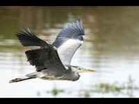 Grey Heron in flight © Peter Gilbert - C