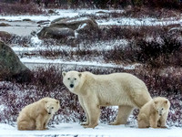 Polar Bear mother and cubs © Heather Wood - HC
