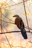 White-Browed Coucal © Mary Kirkby - HC