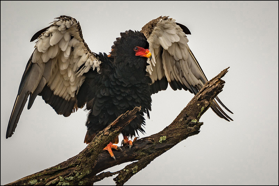 Bateleur Eagle © Mary Kirkby