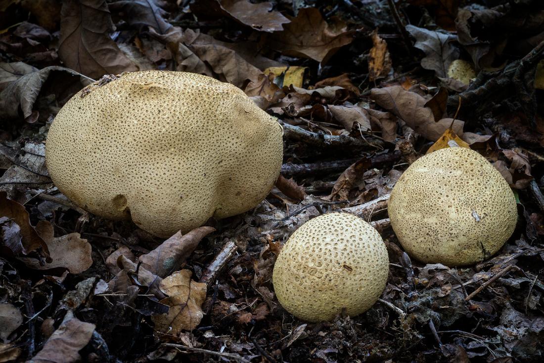 Fungi in Oakley Woods 3 © Dick Prior