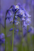 Bluebells © Irene Jutton - C