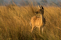 March Deer at Sunset © Mary Kirkby - HC