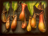Pitcher Plant © Derek Wood - HC