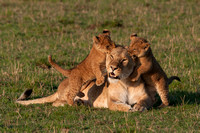 Lioness with Playful Cubs © Mary Kirkby - 13