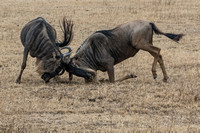 Sparring Wildebeest © Mary Kirkby - 14