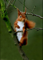 Red Squirrel in tree Scotland © Margaret Preece - HC