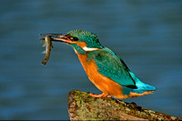 Kingfisher with fish © Margaret Preece - 3rd.