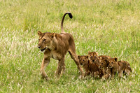 Very Hungry Lioness with Cubs © Mary Kirkby - 3rd