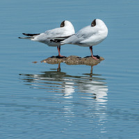Black Headed Gulls resting © Peter Gilbert - HC