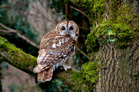 Tawny Owl in moss covered Tree © Peter Preece - HC