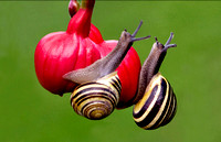 White Lipped Snails © Peter Preece - HC
