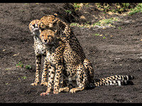 Cheetah Family © Mary Kirkby - 1st