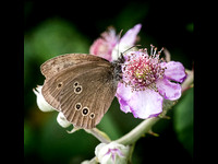 Ringlet on Bramble © Dick Prior - 3rd