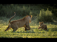 Lioness Playing with Cub © Mary Kirkby - 2nd=