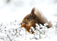 Red Squirrel feeding © Derek Walton - HC