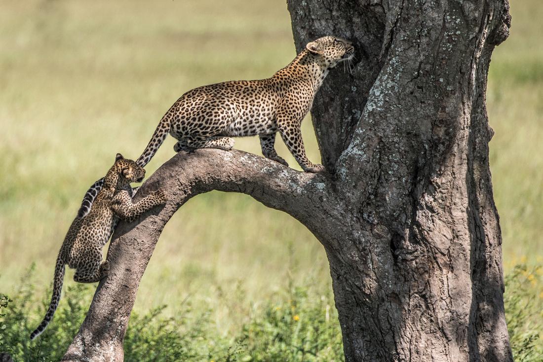 Leopard and Cub © Mary Kirkby - HC