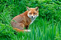 Fox Resting in Long Grass © Peter Preece - C