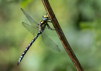 Southern Hawker © Jill Dyson-Orme 2nd