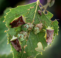 Female Parent Bugs with 5th Instar © Dick Prior 3rd =