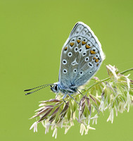 Common Blue Butterfly © Derek Walton - HC