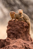 Pair of Dwarf Mongoose © Mary Kirkby HC