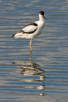 Avocet Reflections © Peter Gilbert - C