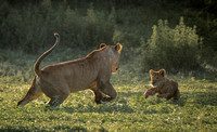 Lioness Playing with Cub © Mary Kirkby - 1st