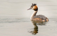 Great Crested Grebe © Peter Gilbert - HC